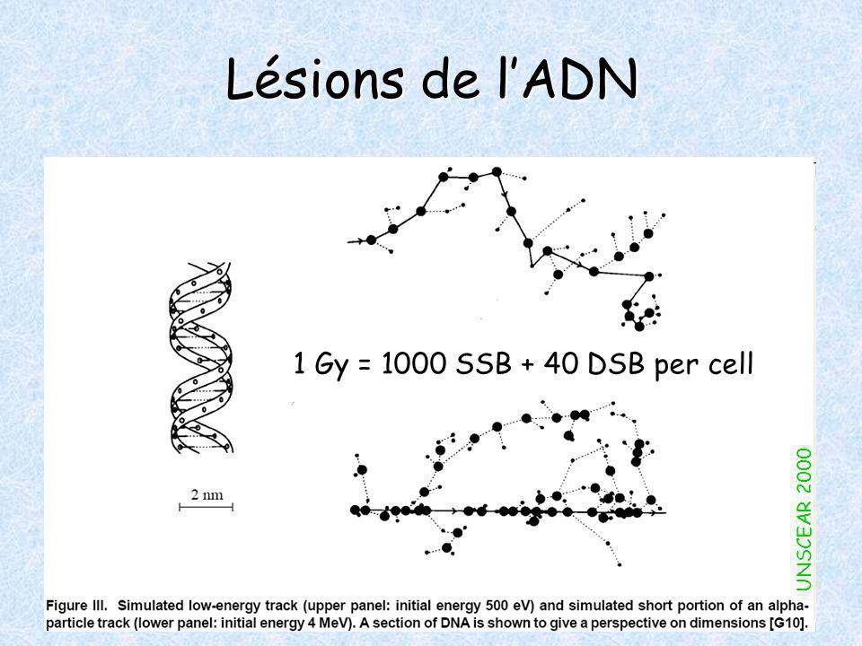 Lésions de lADN 1 Gy = 1000 SSB + 40 DSB per cell UNSCEAR 2000