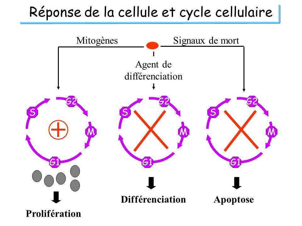 G2 M G1 S G2 M G1 S G2 M G1 S Réponse de la cellule et cycle cellulaire Mitogènes Agent de différenciation Signaux de mort Prolifération Différenciati