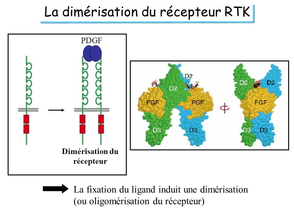 La dimérisation du récepteur RTK PDGF Dimérisation du récepteur La fixation du ligand induit une dimérisation (ou oligomérisation du récepteur)