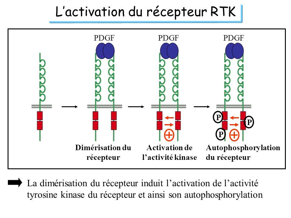 Lactivation du récepteur RTK PDGF P P P Dimérisation du récepteur Activation de lactivité kinase Autophosphorylation du récepteur La dimérisation du r