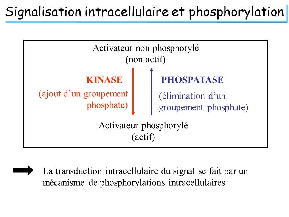 Signalisation intracellulaire et phosphorylation Activateur non phosphorylé (non actif) Activateur phosphorylé (actif) KINASE (ajout dun groupement ph