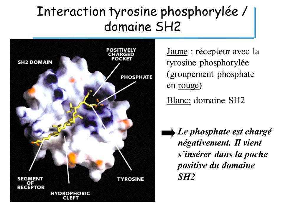 Interaction tyrosine phosphorylée / domaine SH2 Jaune : récepteur avec la tyrosine phosphorylée (groupement phosphate en rouge) Blanc: domaine SH2 Le