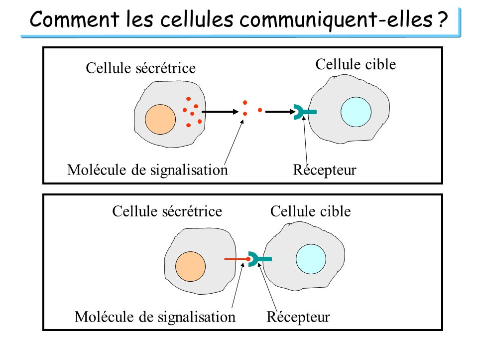 Comment les cellules communiquent-elles ? Cellule sécrétrice Cellule cible Molécule de signalisationRécepteur Cellule sécrétriceCellule cible Molécule