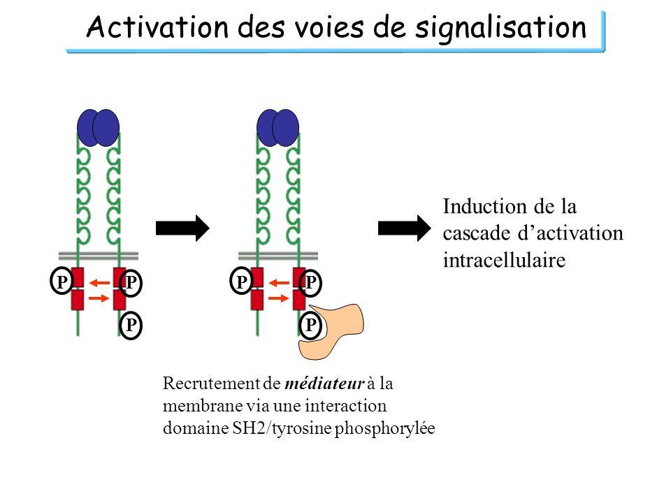 Activation des voies de signalisation PP P PP P Recrutement de médiateur à la membrane via une interaction domaine SH2/tyrosine phosphorylée Induction