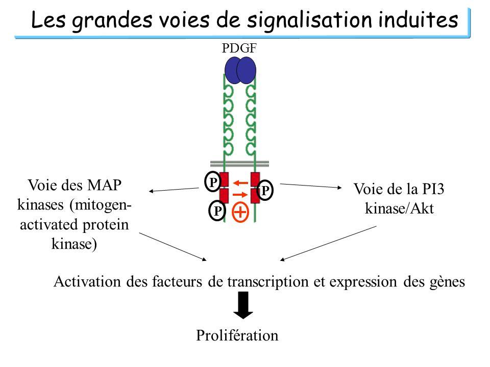 Les grandes voies de signalisation induites PDGF P P P Voie des MAP kinases (mitogen- activated protein kinase) Voie de la PI3 kinase/Akt Activation d