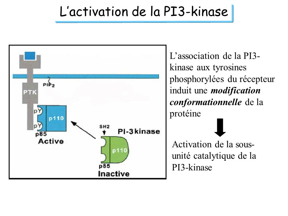 Lactivation de la PI3-kinase Lassociation de la PI3- kinase aux tyrosines phosphorylées du récepteur induit une modification conformationnelle de la p