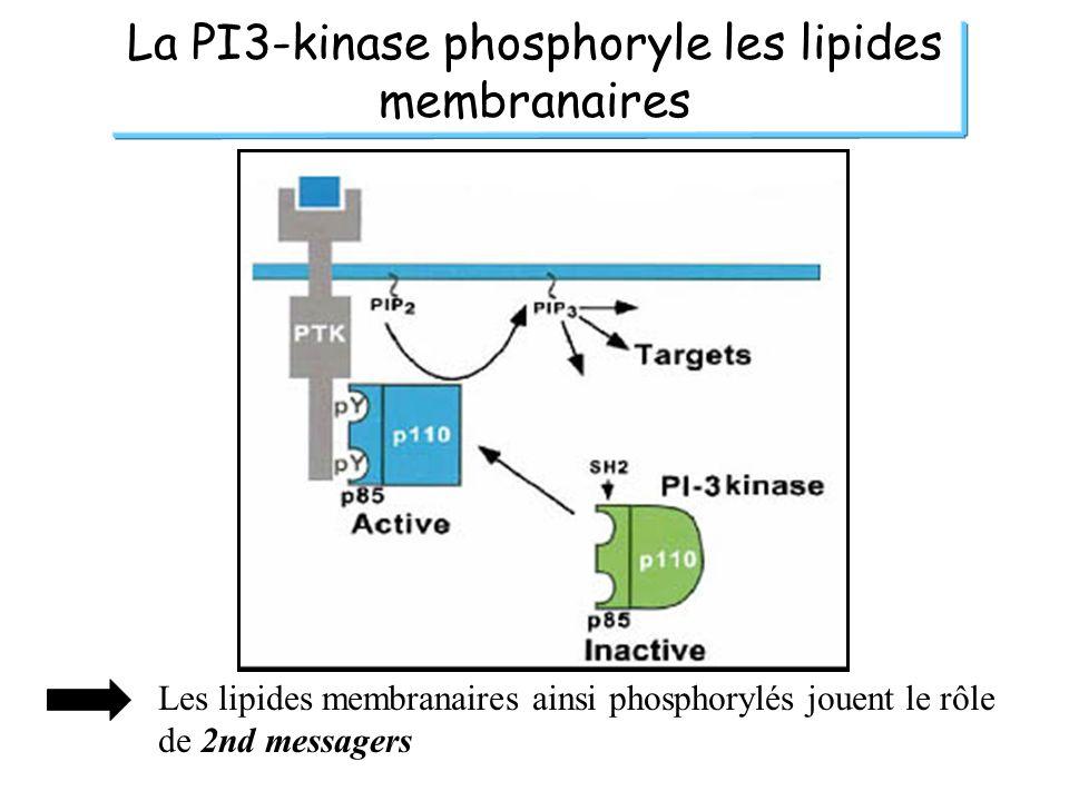 La PI3-kinase phosphoryle les lipides membranaires Les lipides membranaires ainsi phosphorylés jouent le rôle de 2nd messagers