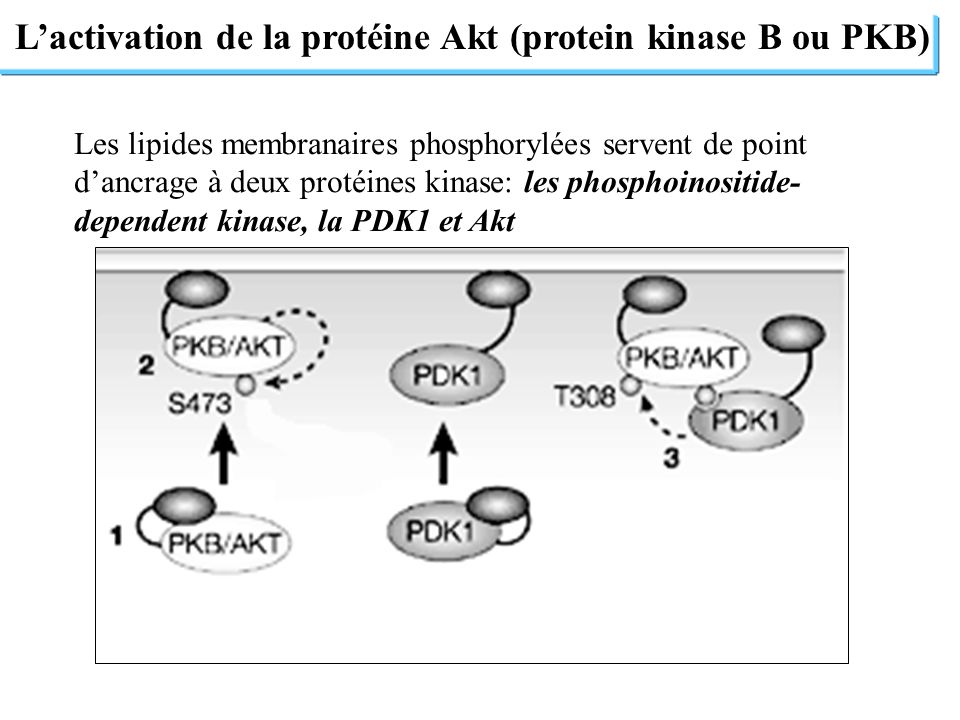 Lactivation de la protéine Akt (protein kinase B ou PKB) Les lipides membranaires phosphorylées servent de point dancrage à deux protéines kinase: les