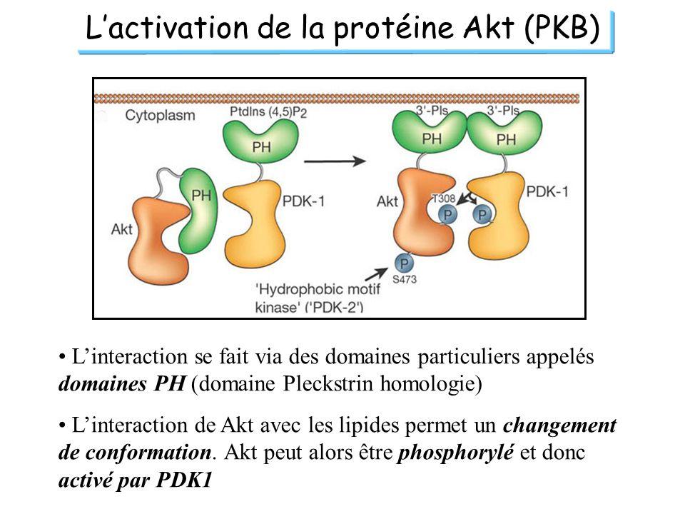Lactivation de la protéine Akt (PKB) Linteraction se fait via des domaines particuliers appelés domaines PH (domaine Pleckstrin homologie) Linteractio