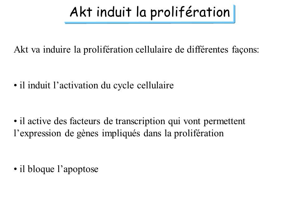 Akt induit la prolifération Akt va induire la prolifération cellulaire de différentes façons: il induit lactivation du cycle cellulaire il active des