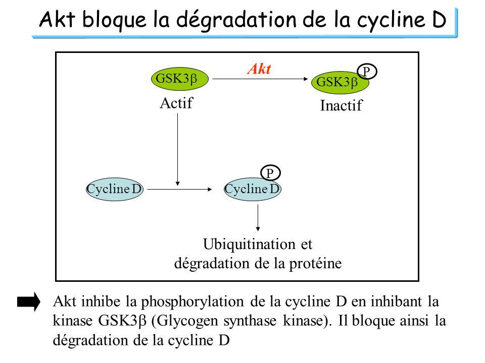 Akt bloque la dégradation de la cycline D GSK3 P Actif Inactif Akt Cycline D P Ubiquitination et dégradation de la protéine Akt inhibe la phosphorylat