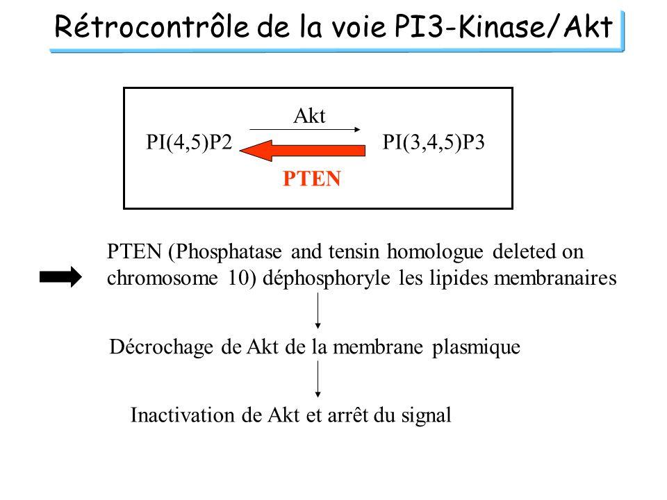 Rétrocontrôle de la voie PI3-Kinase/Akt PI(4,5)P2PI(3,4,5)P3 Akt PTEN PTEN (Phosphatase and tensin homologue deleted on chromosome 10) déphosphoryle l