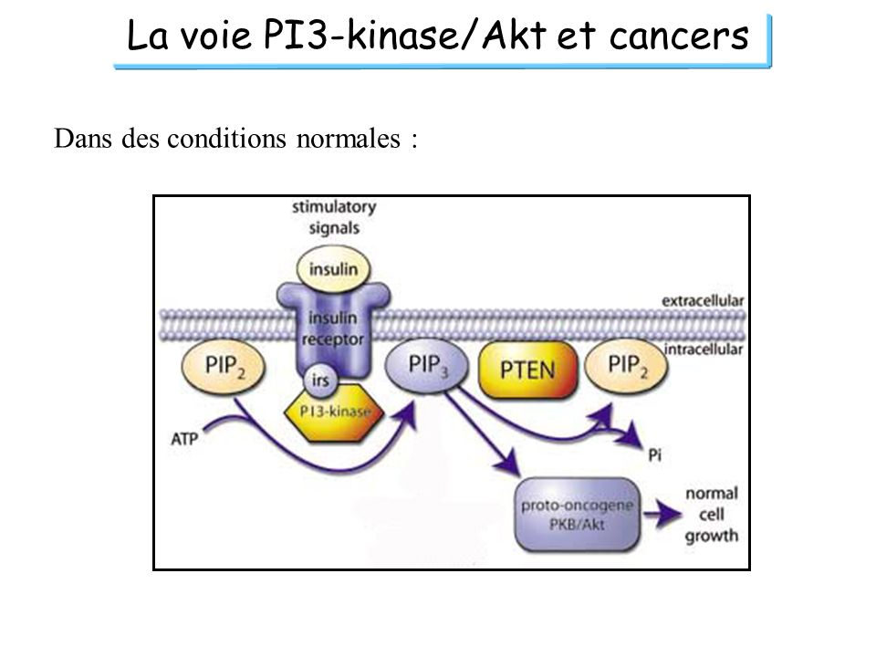 La voie PI3-kinase/Akt et cancers Dans des conditions normales :