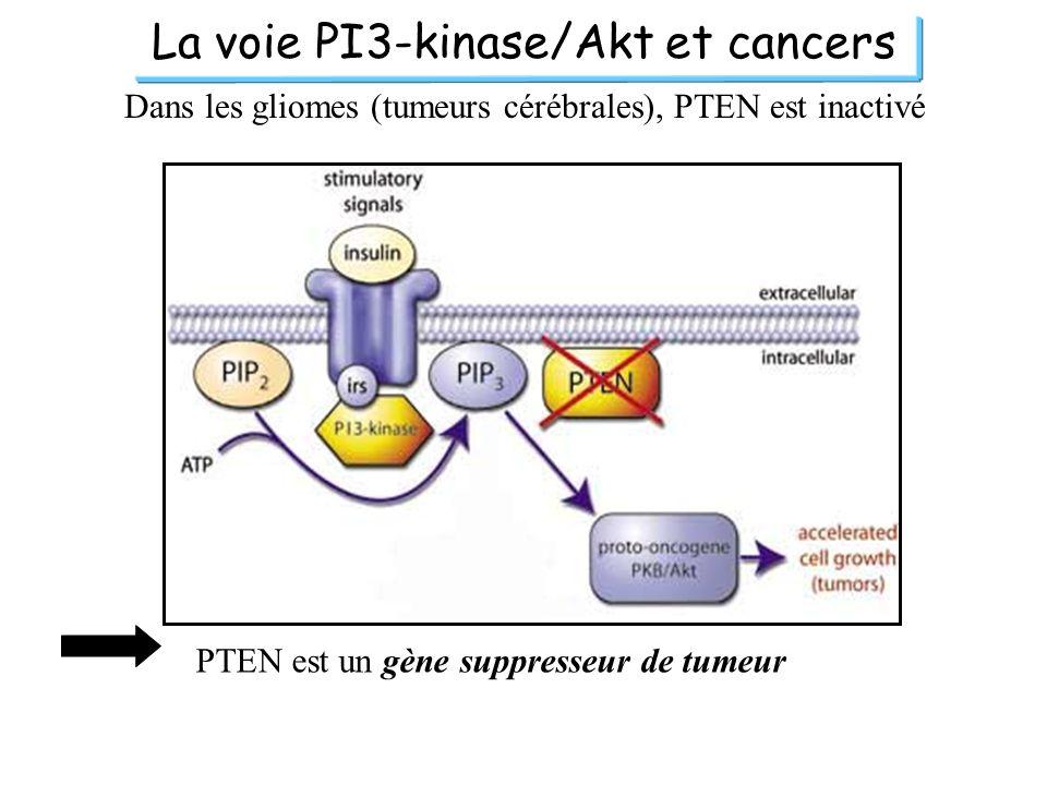 La voie PI3-kinase/Akt et cancers Dans les gliomes (tumeurs cérébrales), PTEN est inactivé PTEN est un gène suppresseur de tumeur