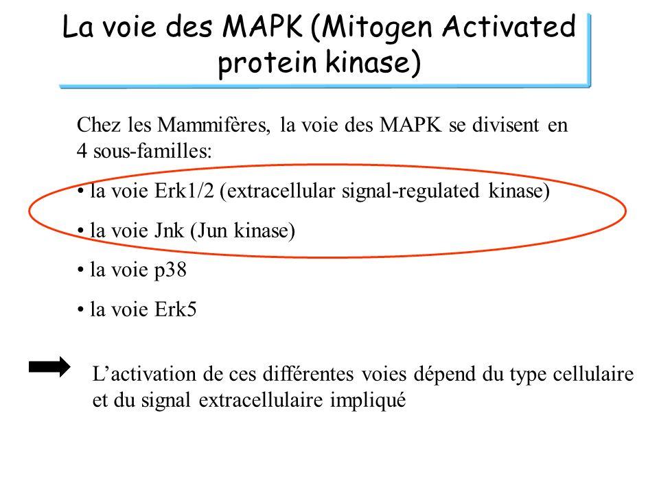 La voie des MAPK (Mitogen Activated protein kinase) Chez les Mammifères, la voie des MAPK se divisent en 4 sous-familles: la voie Erk1/2 (extracellula