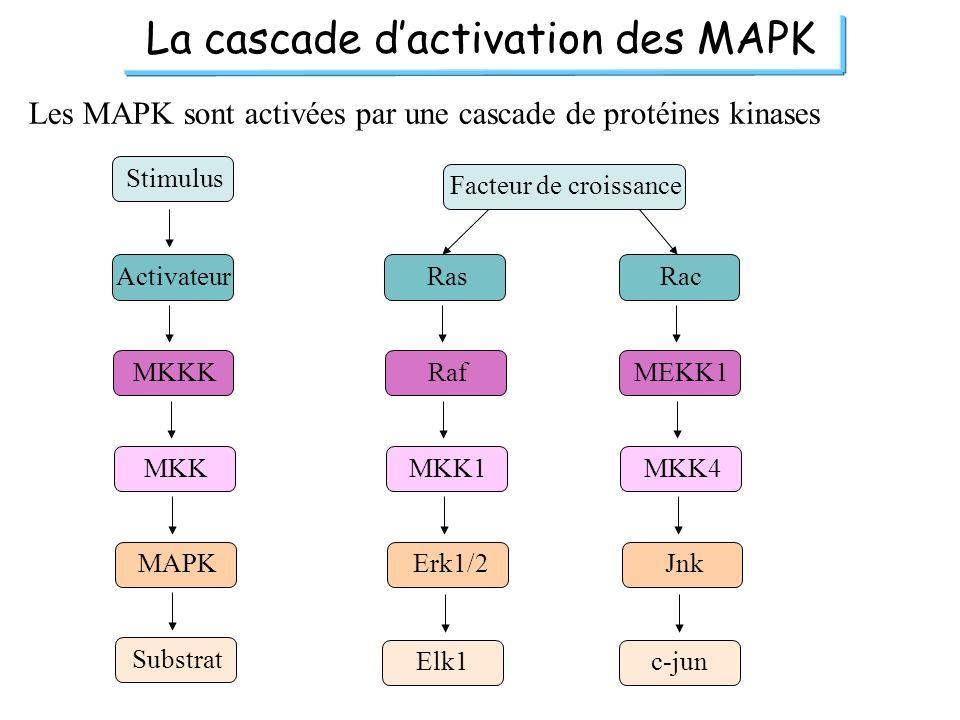 La cascade dactivation des MAPK Les MAPK sont activées par une cascade de protéines kinases Stimulus Activateur MKKK MKK MAPK Substrat Ras Raf MKK1 Er