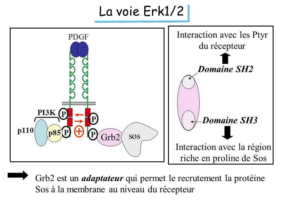 La voie Erk1/2 PDGF P P P p110 PI3K Pp85 Grb2 sos Domaine SH2 Interaction avec les Ptyr du récepteur Domaine SH3 Interaction avec la région riche en p