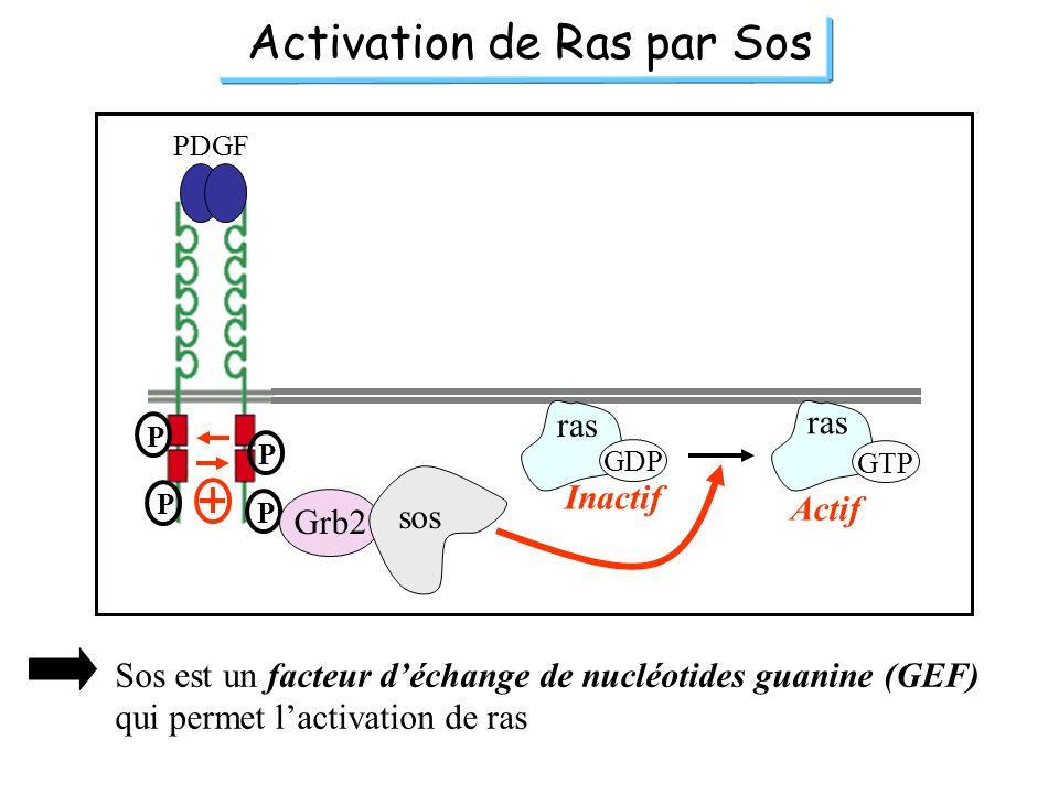 Activation de Ras par Sos PDGF P P P P Grb2 sos ras GDP GTP Inactif Actif Sos est un facteur déchange de nucléotides guanine (GEF) qui permet lactivat