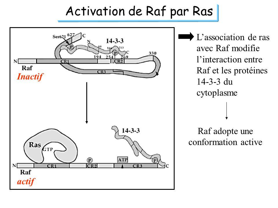 Activation de Raf par Ras Inactif actif Lassociation de ras avec Raf modifie linteraction entre Raf et les protéines 14-3-3 du cytoplasme Raf adopte u