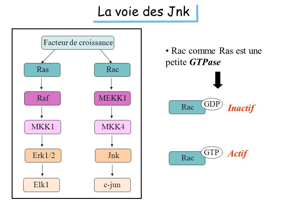 La voie des Jnk Ras Raf MKK1 Erk1/2 Rac MEKK1 MKK4 Jnk Facteur de croissance Elk1c-jun Rac comme Ras est une petite GTPase Rac GDP GTP Inactif Actif