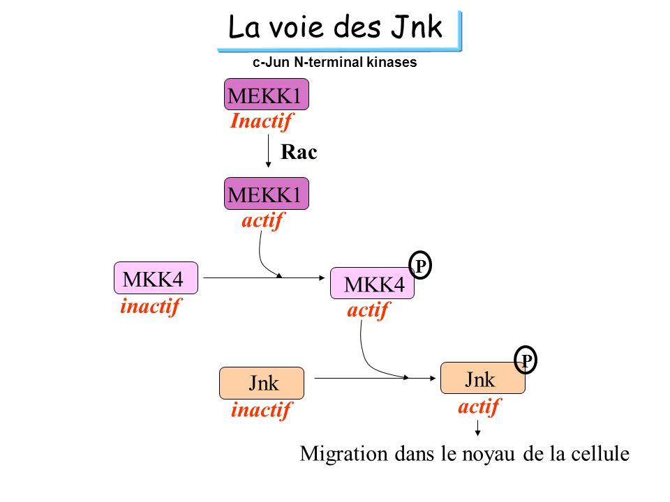 La voie des Jnk c-Jun N-terminal kinases MEKK1 actif P P MKK4 actif inactif Jnk Migration dans le noyau de la cellule MEKK1 Inactif Rac
