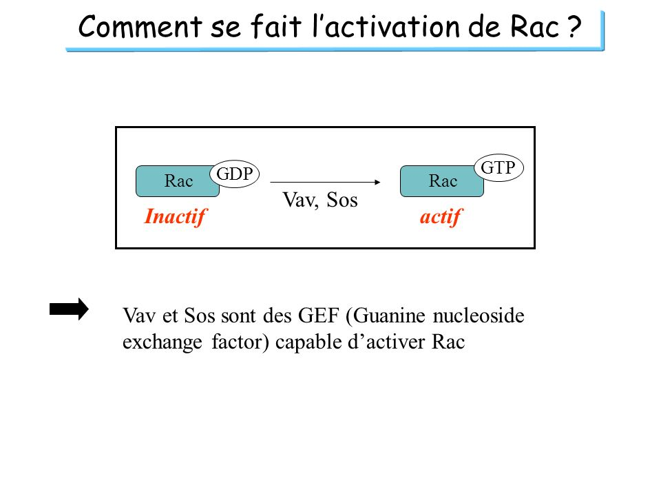 Comment se fait lactivation de Rac ? Rac GDP GTP actifInactif Vav, Sos Vav et Sos sont des GEF (Guanine nucleoside exchange factor) capable dactiver R