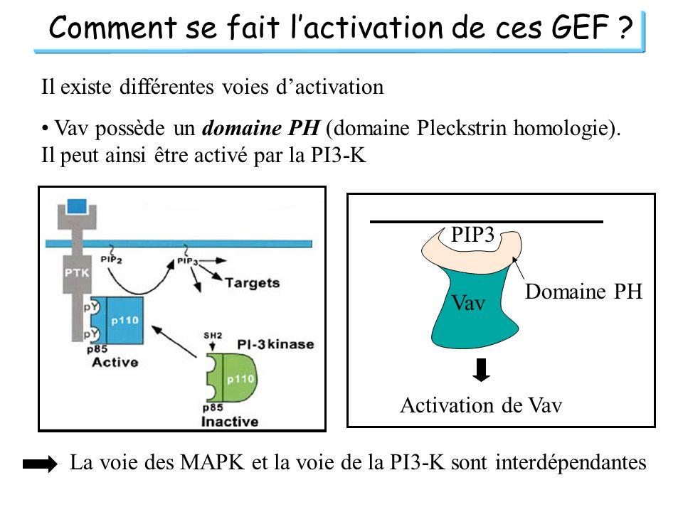 Comment se fait lactivation de ces GEF ? Il existe différentes voies dactivation Vav possède un domaine PH (domaine Pleckstrin homologie). Il peut ain