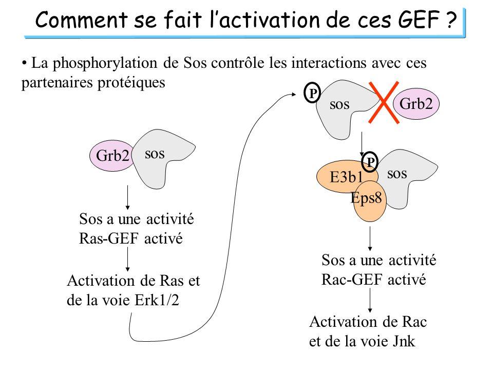 Comment se fait lactivation de ces GEF ? La phosphorylation de Sos contrôle les interactions avec ces partenaires protéiques Grb2 sos Sos a une activi