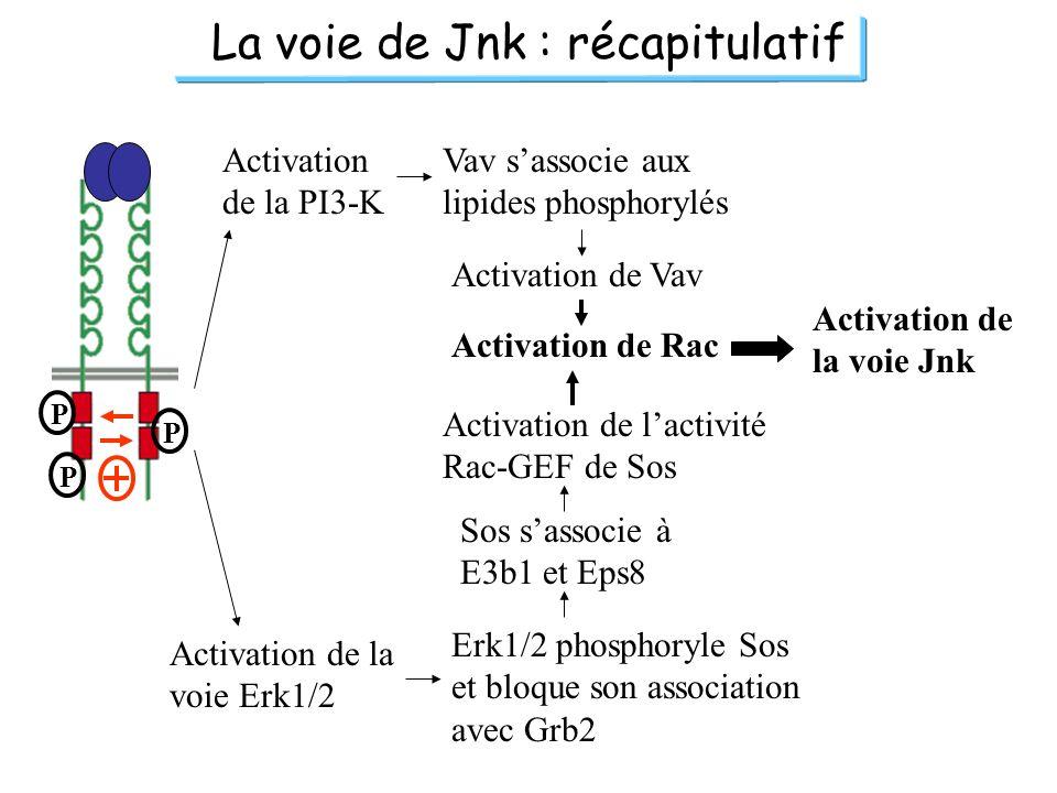 La voie de Jnk : récapitulatif P P P Activation de la PI3-K Vav sassocie aux lipides phosphorylés Activation de Vav Activation de Rac Activation de la