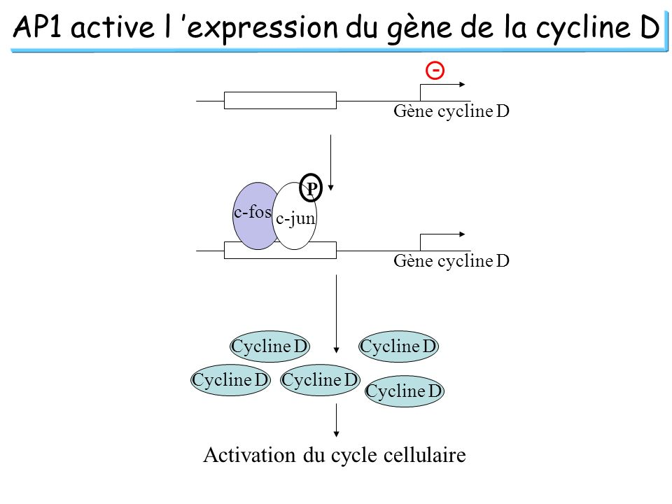 AP1 active l expression du gène de la cycline D Gène cycline D - c-fos c-jun P Cycline D Activation du cycle cellulaire