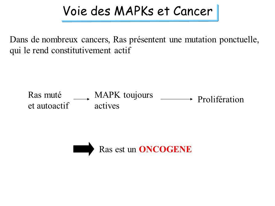 Voie des MAPKs et Cancer Dans de nombreux cancers, Ras présentent une mutation ponctuelle, qui le rend constitutivement actif Ras muté et autoactif MA