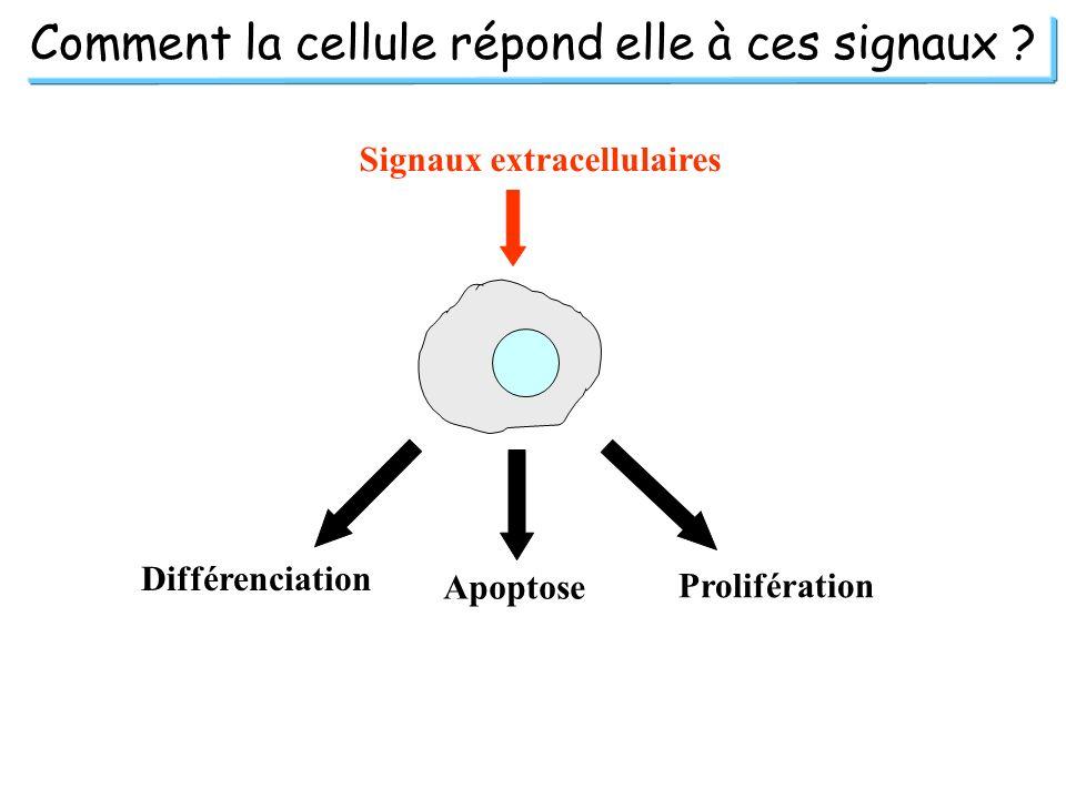 Comment la cellule répond elle à ces signaux ? Signaux extracellulaires Différenciation Apoptose Prolifération
