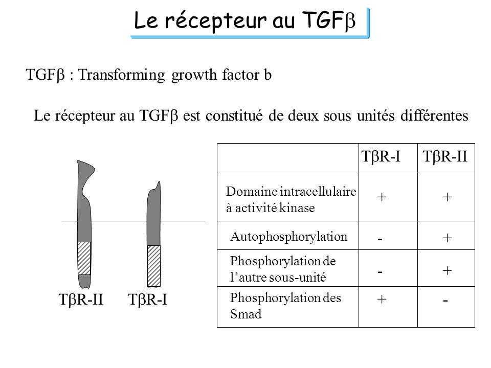 Le récepteur au TGF TGF : Transforming growth factor b Le récepteur au TGF est constitué de deux sous unités différentes T R-IIT R-I T R-IIT R-I Domai