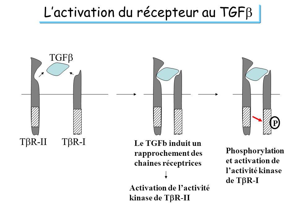 Lactivation du récepteur au TGF T R-IIT R-I TGF Le TGFb induit un rapprochement des chaines réceptrices P Activation de lactivité kinase de T R-II Pho