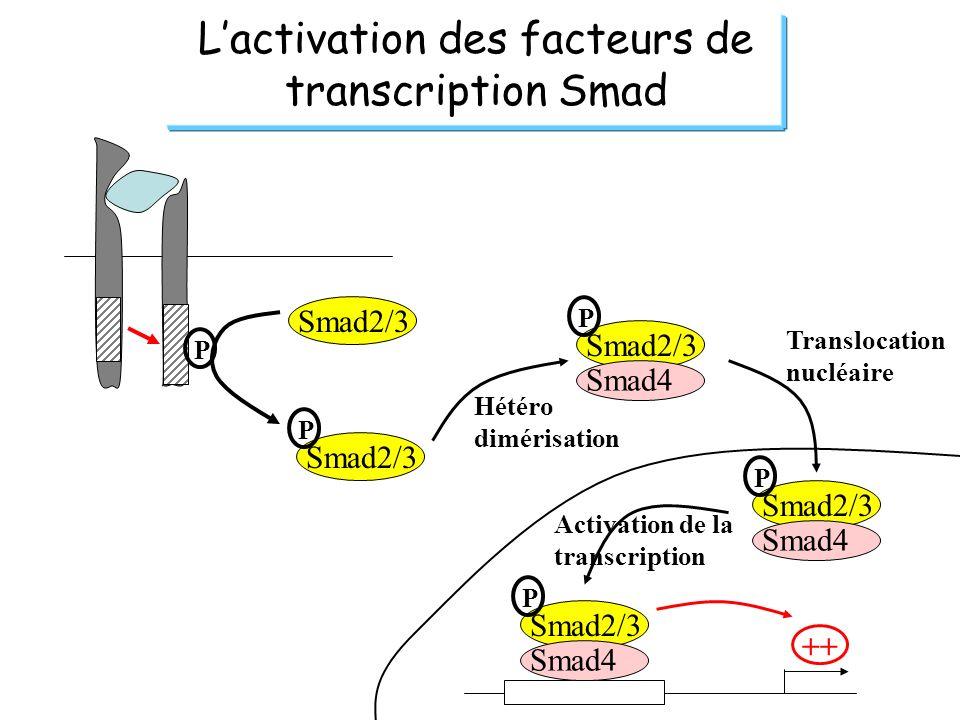Lactivation des facteurs de transcription Smad P Smad2/3 P P Smad4 Smad2/3 P Smad4 ++ Smad2/3 P Smad4 Hétéro dimérisation Translocation nucléaire Acti