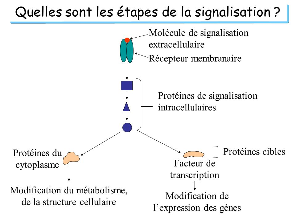 Quelles sont les étapes de la signalisation ? Facteur de transcription Protéines du cytoplasme Modification de lexpression des gènes Modification du m
