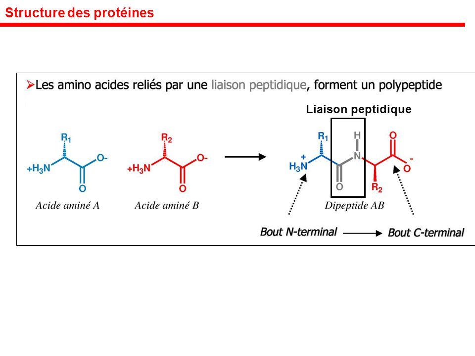 Structure des protéines Liaison peptidique