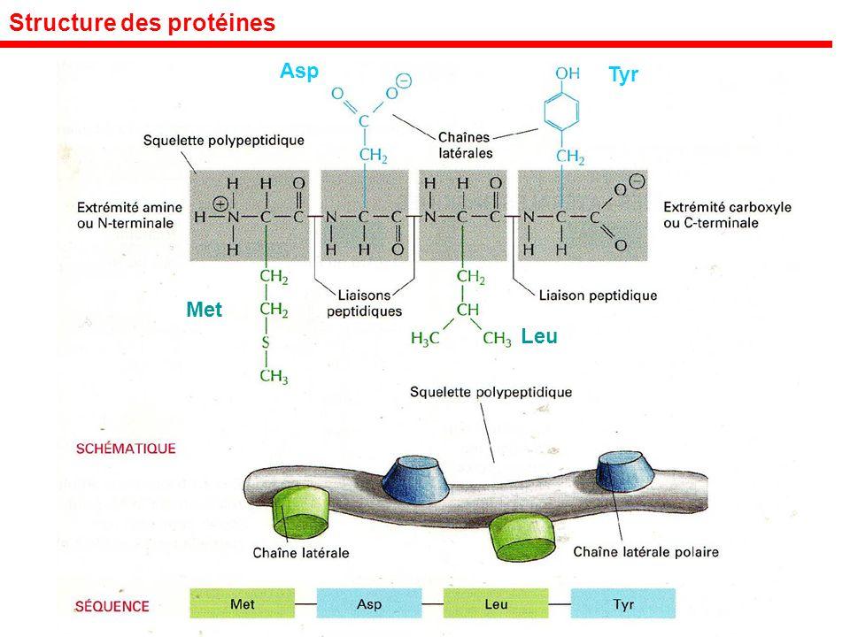 Structure des protéines Met Leu Asp Tyr
