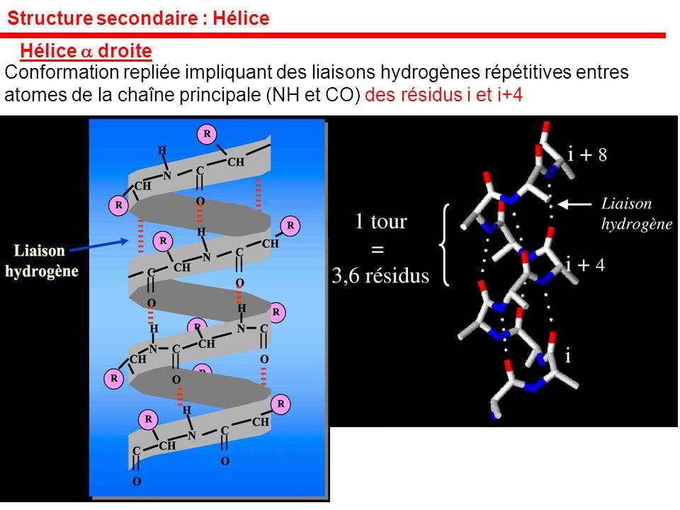 Structure secondaire : Hélice Hélice droite Conformation repliée impliquant des liaisons hydrogènes répétitives entres atomes de la chaîne principale (NH et CO) des résidus i et i+4