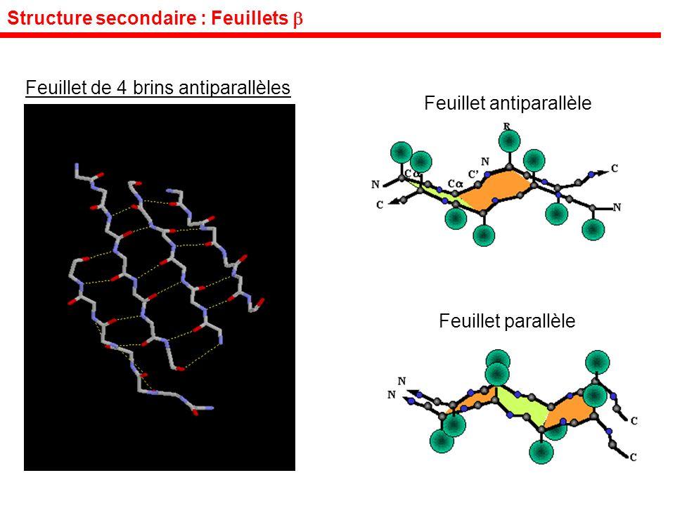 Structure secondaire : Feuillets Feuillet de 4 brins antiparallèles Feuillet antiparallèle Feuillet parallèle