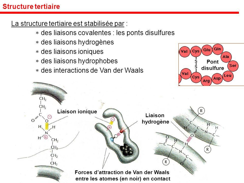 Structure tertiaire La structure tertiaire est stabilisée par : des liaisons covalentes : les ponts disulfures des liaisons hydrogènes des liaisons ioniques des liaisons hydrophobes des interactions de Van der Waals Liaison ionique Liaison hydrogène Forces dattraction de Van der Waals entre les atomes (en noir) en contact Pont disulfure