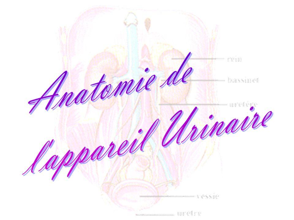Anatomie du rein 1papille rénale 2 petit calice 3 grand calice 4 bassinet 5 uretère 6 sinus rénal