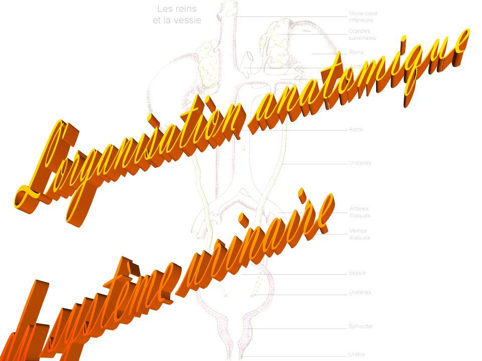 Le système urinaire se compose de différentes parties: Les 2 reins (ren; nephros) ==> fonction de filtration, sécrétion et réabsorption Les 2 uretères (ureter) ==> fonction de conduction la vessie (vesica urinaria) ==> fonction de réservoir l urètre (urethra) ==> fonction de conduction
