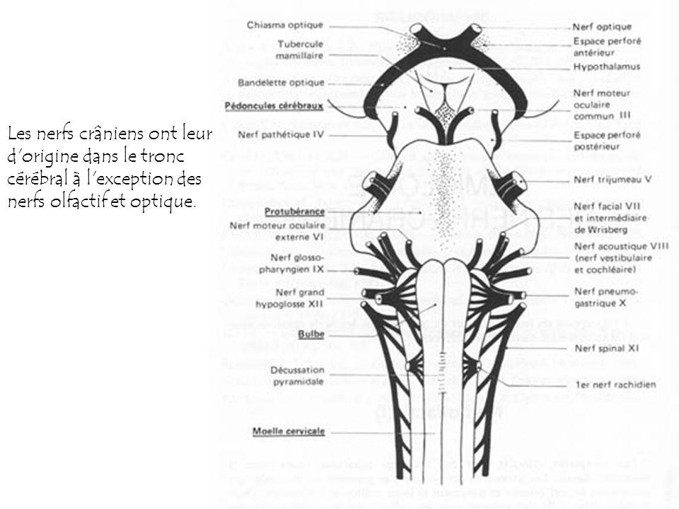 65 Les nerfs crâniens ont leur d'origine dans le tronc cérébral à l'exception des nerfs olfactif et optique.