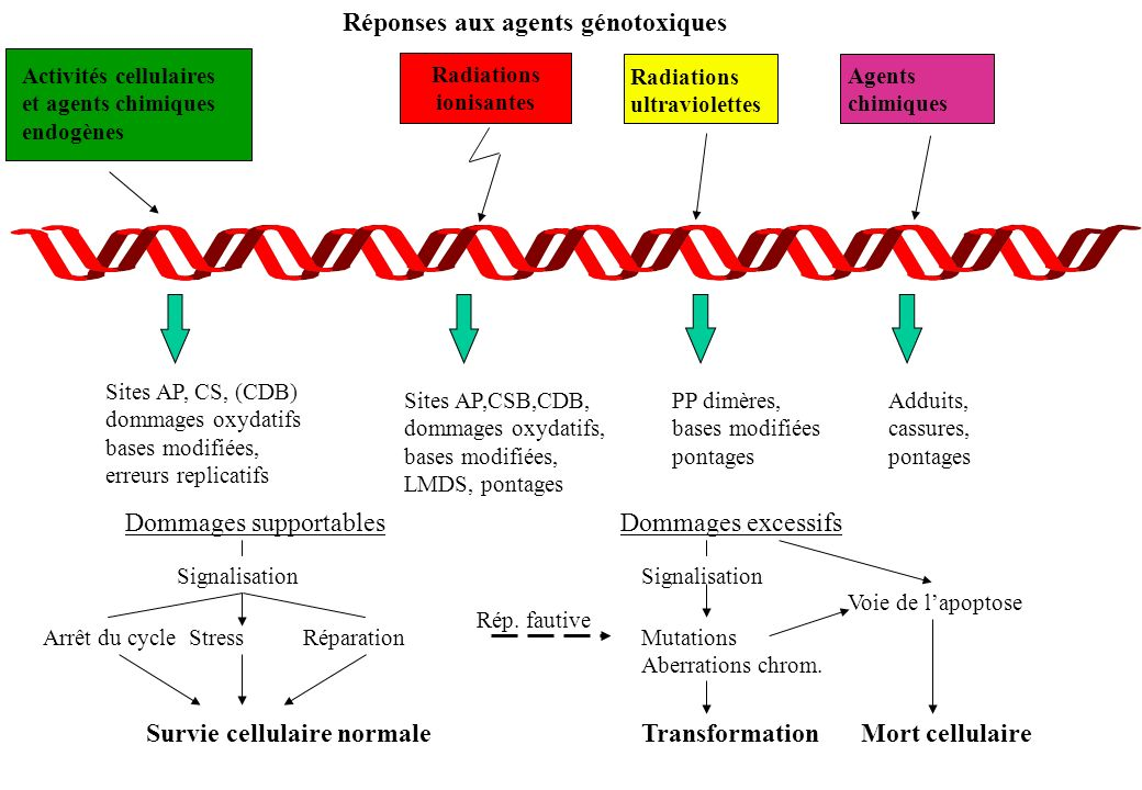 Réponses aux agents génotoxiques Activités cellulaires et agents chimiques endogènes Radiations ultraviolettes Agents chimiques Sites AP, CS, (CDB) do