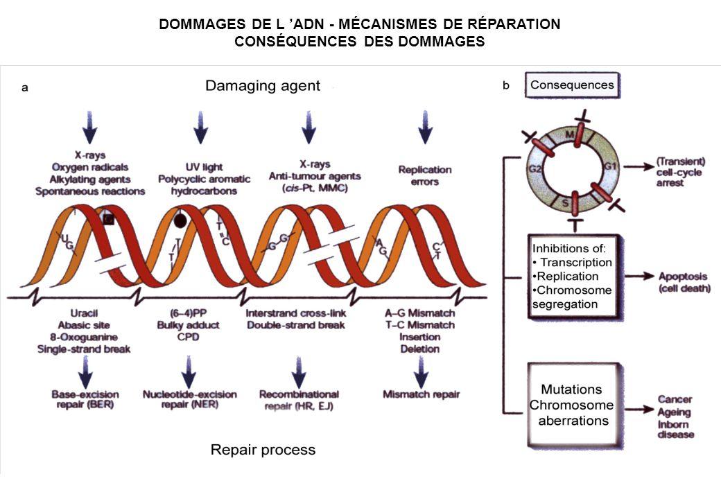 DOMMAGES DE L ADN - MÉCANISMES DE RÉPARATION CONSÉQUENCES DES DOMMAGES