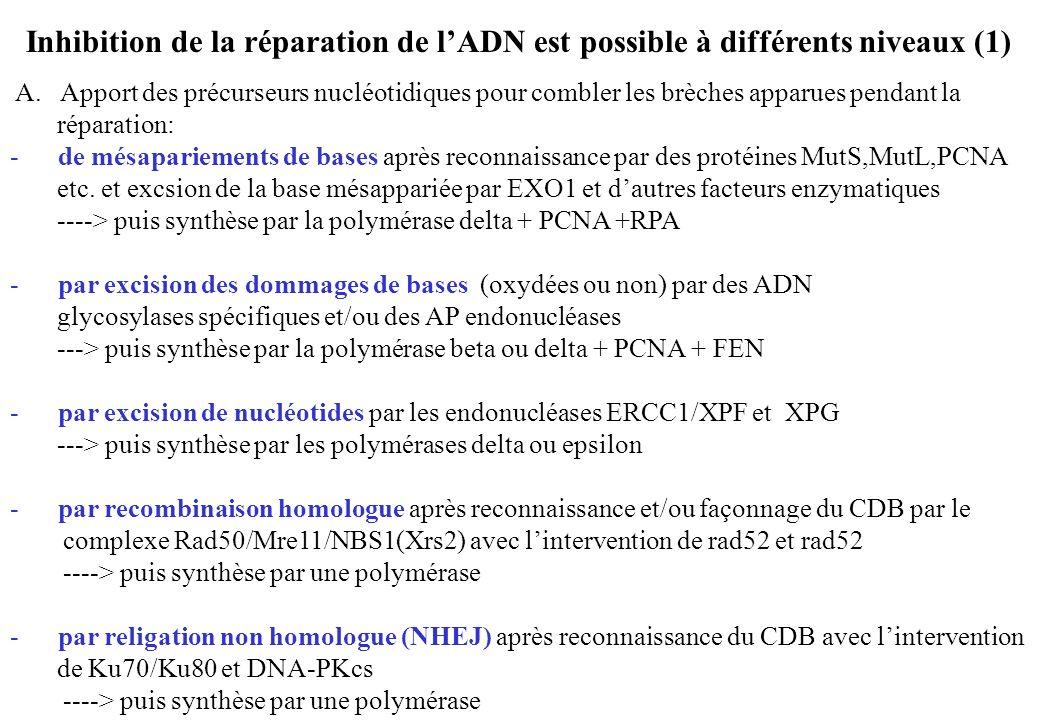 Inhibition de la réparation de lADN est possible à différents niveaux (1) A. Apport des précurseurs nucléotidiques pour combler les brèches apparues p