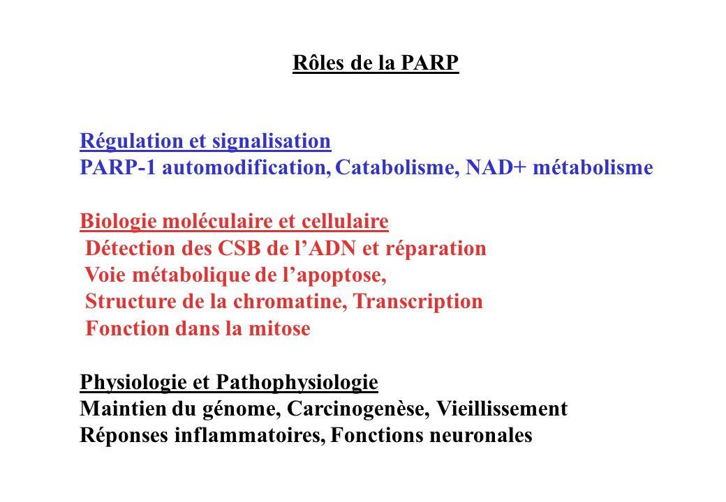 Régulation et signalisation PARP-1 automodification, Catabolisme, NAD+ métabolisme Biologie moléculaire et cellulaire Détection des CSB de lADN et rép