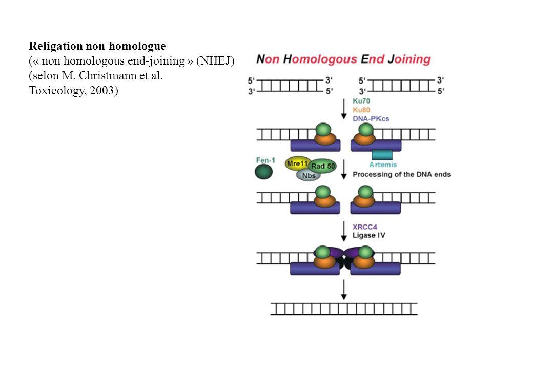 Religation non homologue (« non homologous end-joining » (NHEJ) (selon M. Christmann et al. Toxicology, 2003)