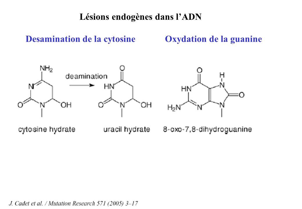Lésions endogènes dans lADN Desamination de la cytosineOxydation de la guanine